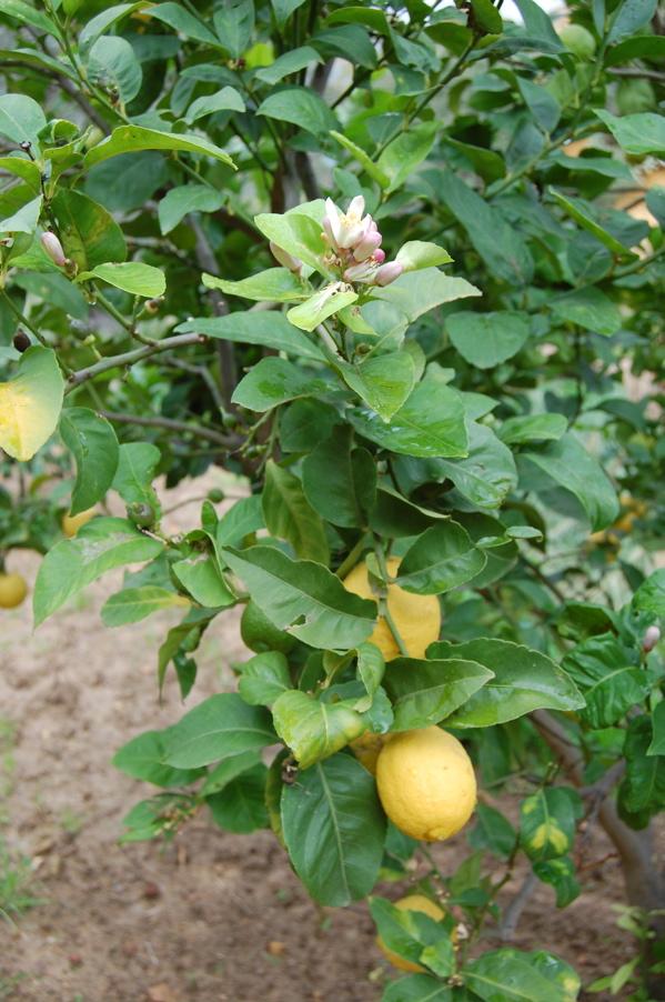 Lemon_blossom